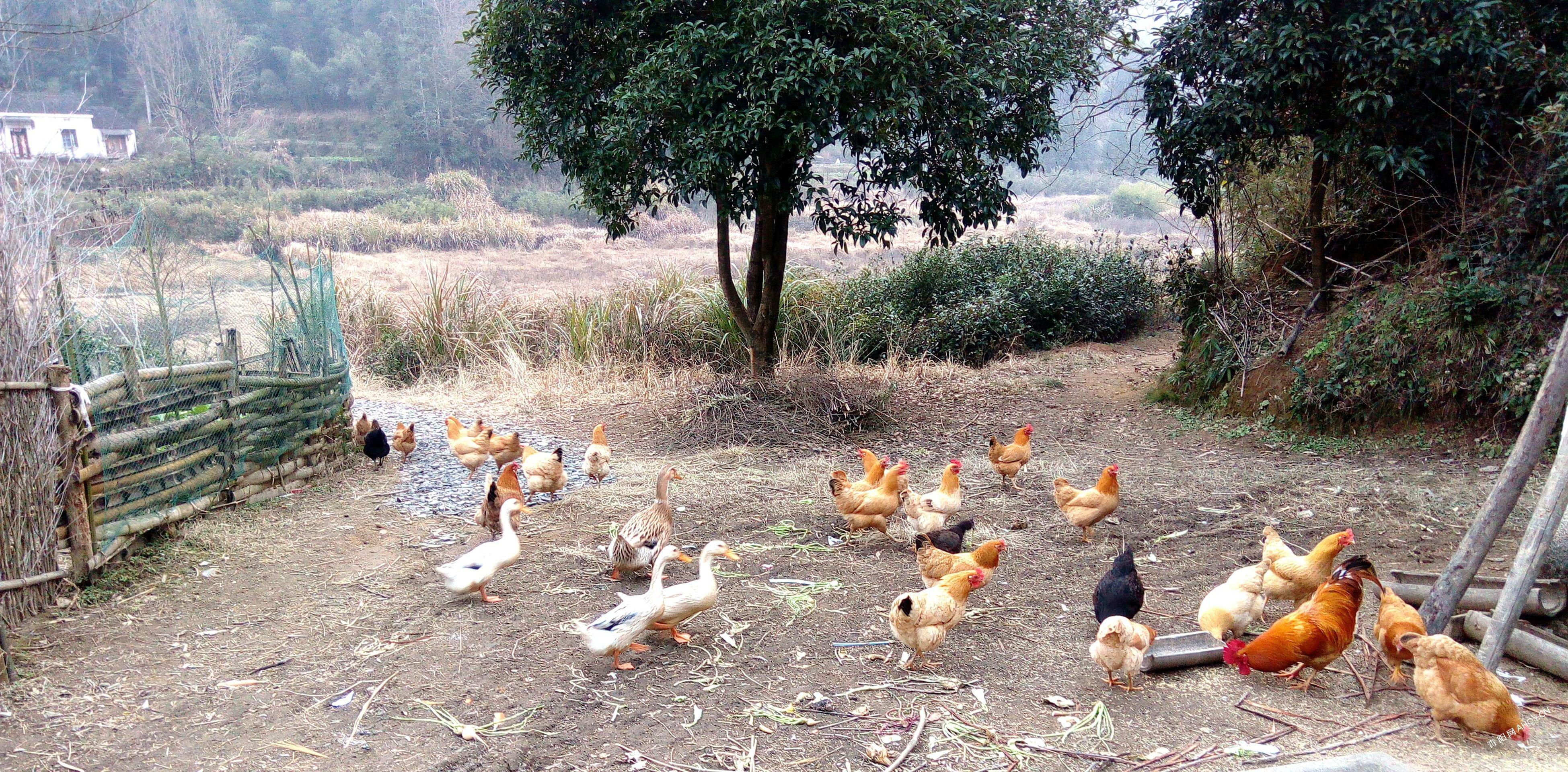 鸡鸭.jpg